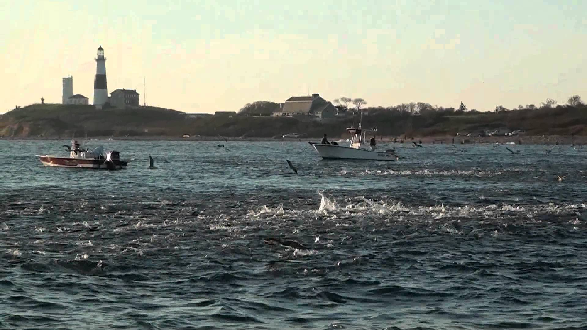Video albacore blitz montauk new york for Salmon river ny fishing map