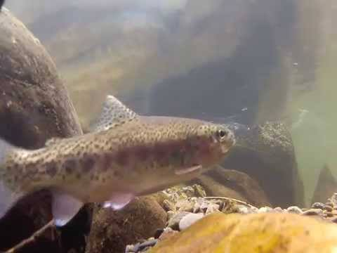 [Video] Rainbow Trout of Great Smoky Mountains National Park