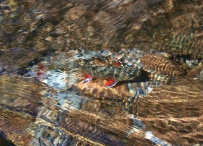 Hazel Creek brook Trout