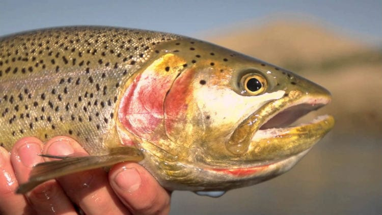 Roaring Fork River rainbow trout