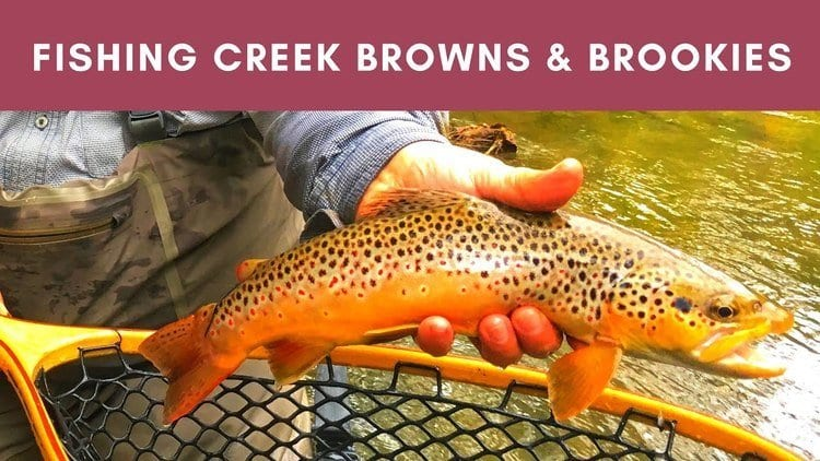 wild brown trout caught in big fishing creek in Pennsylvania