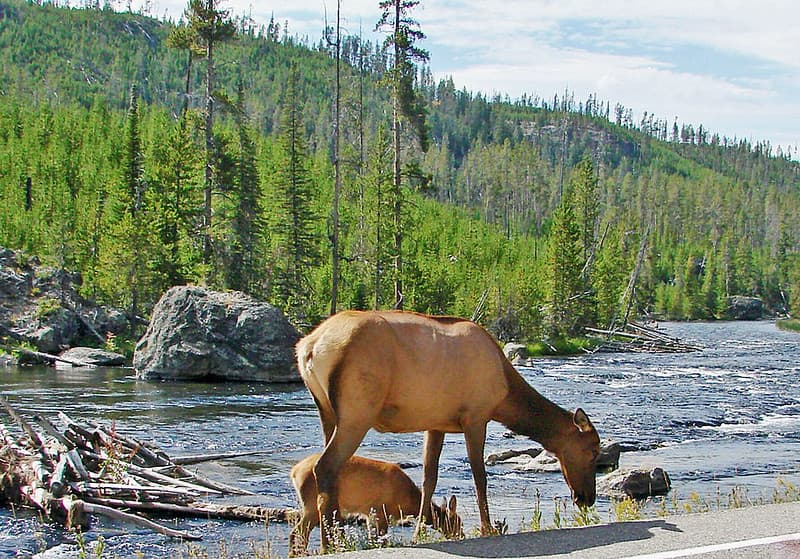 elk grazing along the Gibbon River in Yellowstone National Park